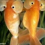 ماهی چشم بادکنکی Puffer Fish