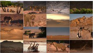 جنگجویان صحرا: شیرهای نامیب Desert Warriors: Lions of the Namib 2016